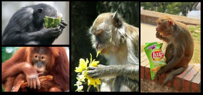 monkeys as omnivores